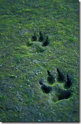 390px-Canis_lupus_tracks_in_sand